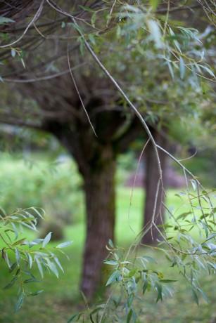 Pilträd - rotfräsning